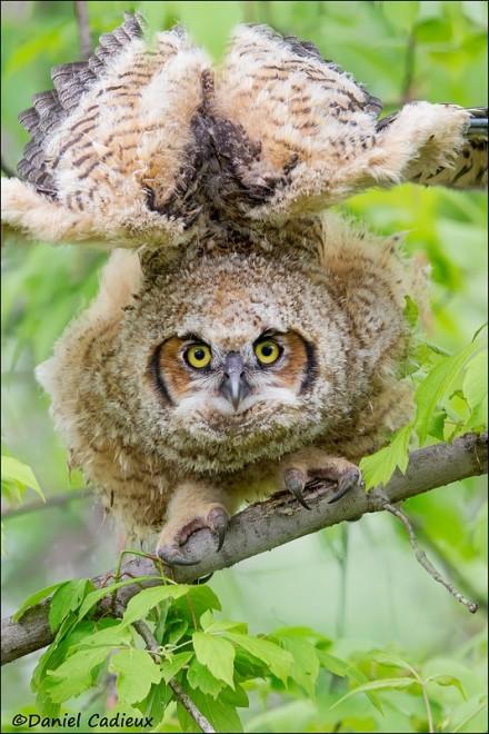 tn_Great-Horned-Owl_8229-1