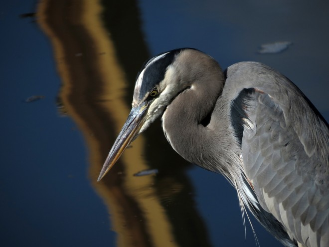 2012-great-blue-heron-series-sx40
