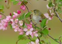 20130520_8563-tennessee-warbler