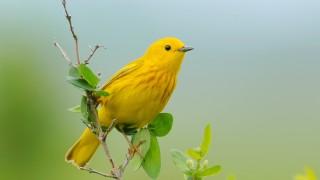 20130530_9053-yellow-warbler