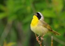 20130607_9407-common-yellowthroat