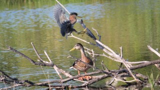 20130823_Creekside_GreenHeron5
