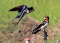 Barn Swallows, Marine Study Center