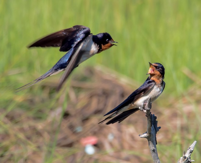 Barn Swallows, Marine Study Center