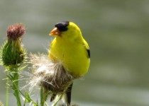 American-Goldfinch-summer-phase