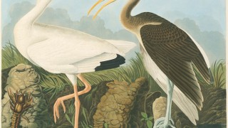 White Ibis Eudocimus albus [Ibis Alba] from Audubon's Birds of America: The National Audubon Society Baby Elephant Folio, Roger Tory Peterson and Virginia Marie Peterson, eds., Abbeville Press Publishers, rev. ed., 2003.