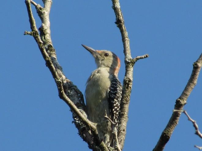 Clark-reservation-Woodpecker