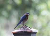 Eastern-Bluebird-03