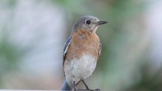 Eastern-Bluebird-05