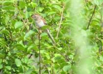 Field-Sparrow