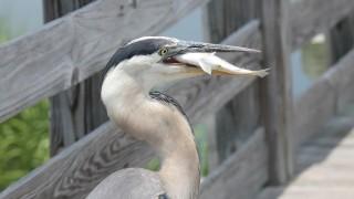 Great-Blue-Heron-08