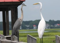 Great-Blue-Heron-and-Great-Egret