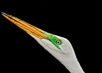 Great-Egret-at-Ding-Darling-3
