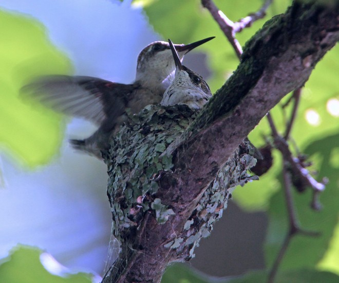 Hummers-in-nest