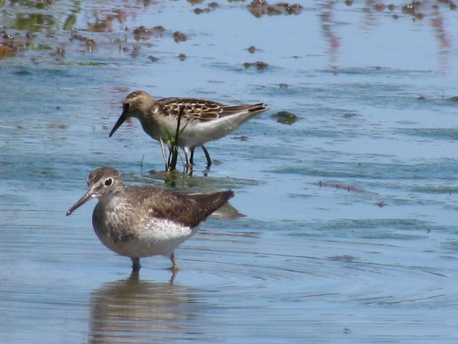 Lesser-Yellowlegs-and-Solitary-Sandpipers