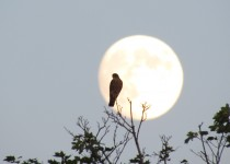 Merlin-Moonrise