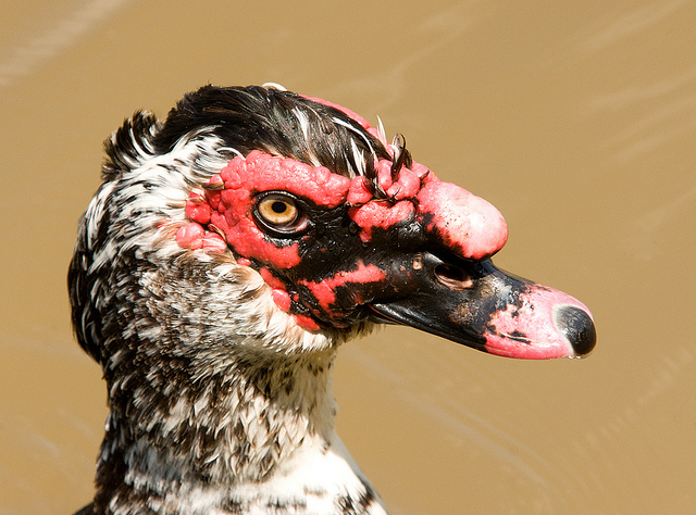 Muscovy in Raleigh, North Carolina, by e_monk (Creative Commons).