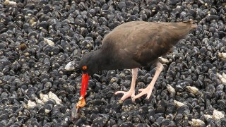 Oystercatcher-Black-2013-07-30-277