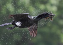 Pelagic-Cormorant-in-flight