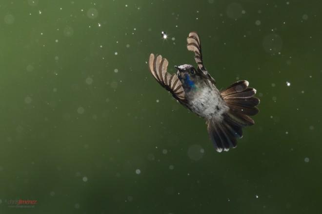 Purple Headed Hummingbird