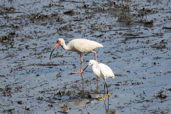 Snowy-Egret-and-White-Ibis