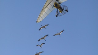 Whooping Cranes follow an ultralight plane. Photo by Heather Ray/Operation Migration