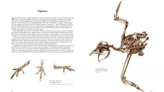 On this spread from the book The Unfeathered Bird, drawings by Katrina van Grouw show the European Nightjar's comb-like middle claw and the bird in flight.