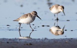 Western Sandpipers. Photo by Liron Gertsman