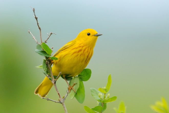 Yellow Warbler in northwest Iowa photographed by Linda Petersen.