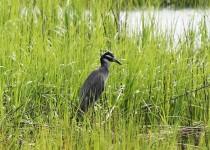 Yellow-crowned-Night-Heron-01