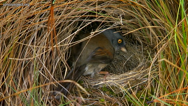 Yellow-eyed-at-nest
