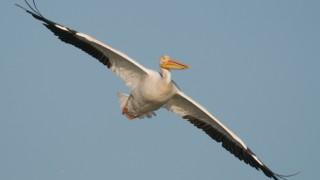 american-white-pelican-flight-mia-mcpherson-9838