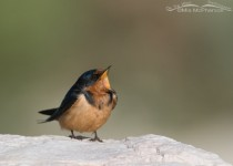 barn-swallow-juvenile-mia-mcpherson-5327