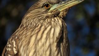 black-crowned-closeup