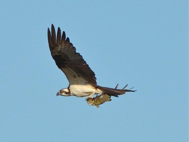 bobvt_20130812_mnwr_osprey100