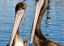 brown-pelican-pair