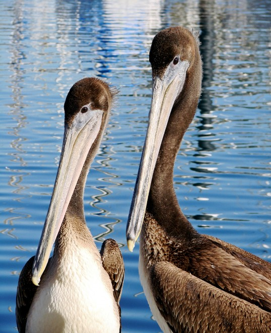 brown-pelican-pair