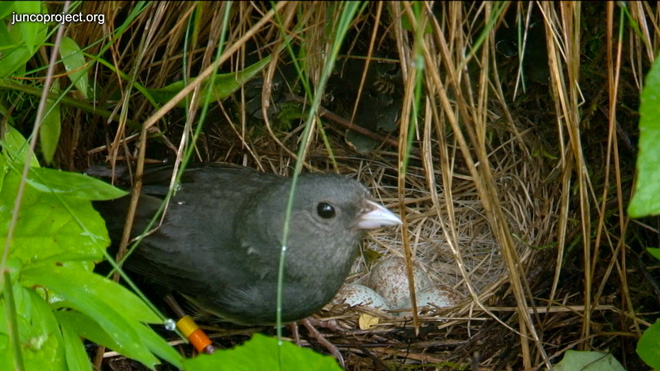dark-eyed-junco-at-nest