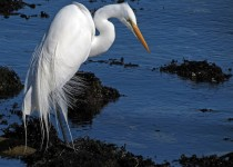 dramatic-egret-at-beach