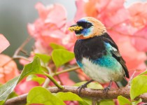 golden-hooded-tanager-7956