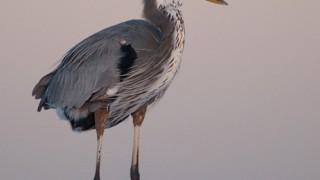 great-blue-heron-florida-mia-mcpherson-6463