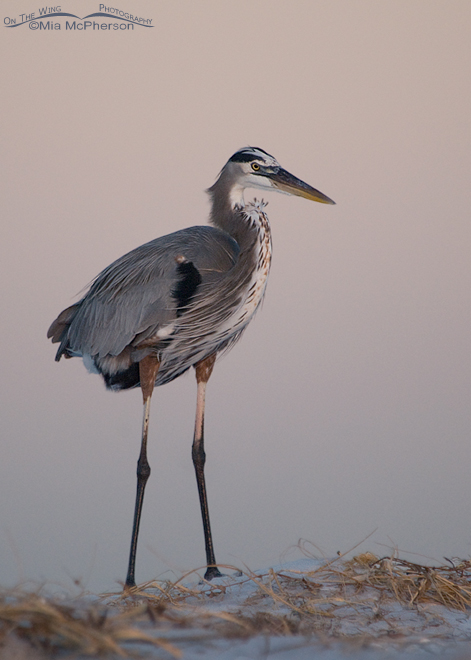 great-blue-heron-florida-mia-mcpherson-6463