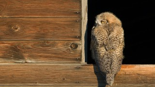 great-horned-owl-fledgling-mia-mcpherson-7050