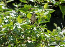 hummingbirdfmitchell2013VAfemale