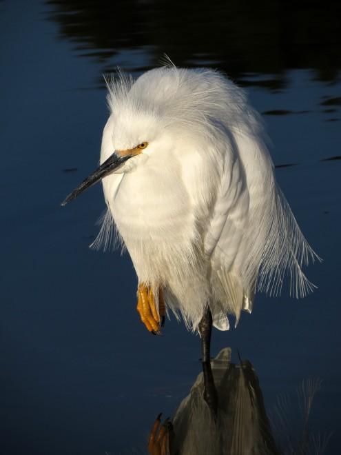 latest-snowy-egret