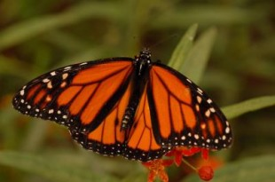 There's no mistaking a monarch's striking orange and black colors. Photo by Jessica Linton, University of Guelph.