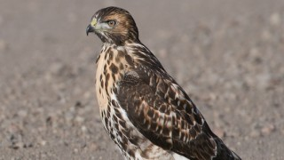 red-tailed-hawk-juvenile-mia-mcpherson-6351