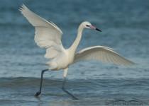 reddish-egret-white-morph-mia-mcpherson-5282