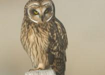 short-eared-owl-mia-mcpherson-fog-8553