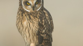 short-eared-owl-mia-mcpherson-fog-8553